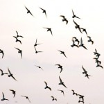 flocks-of-birds_1